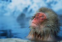A Japanese macaque (Macaca fuscata), or snow monkey, soaking in a hot spring.