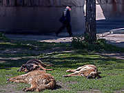Homeless dogs taking a sun bath on the street in front of the Kazansky Rail Terminal (Kazansky vokzal) in Moscow.