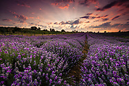 Splendid lavender field at sunset