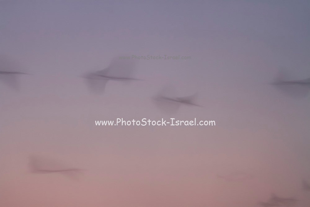 Motion blur Common crane (Grus grus) on a misty morning. Photographed in the Hula Valley, Israel, in January