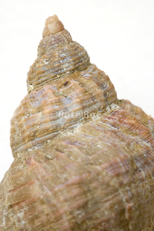 extreme close up of the top of a sea shell