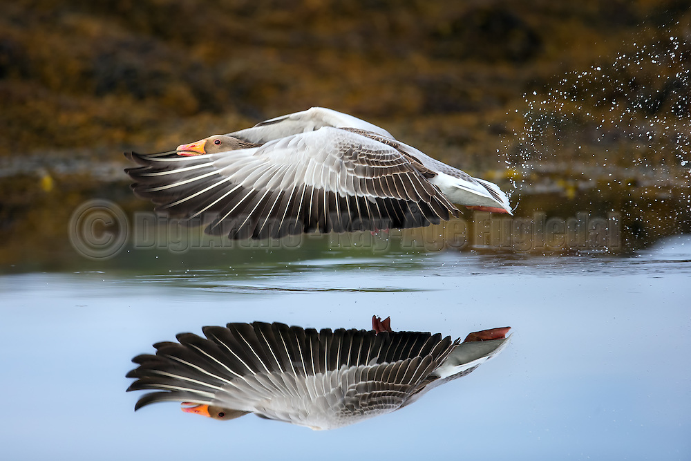 Escaping Gray goose with reflection in the sea