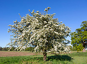 White blossom of hawthorn tree in flower against blue sky, Shottisham, Suffolk, England, UK