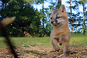Gray Fox pup in Habitat