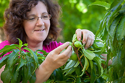 Thinning out nectarines in order to encourage ripening and promote good sized, healthy fruits. Prunus persica