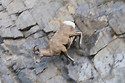 Bighorn Sheep ewe (female) jumps down a sheer rocky cliff face showing remarkable balance.(Ovis canadensis).Jasper National Park,Canada..