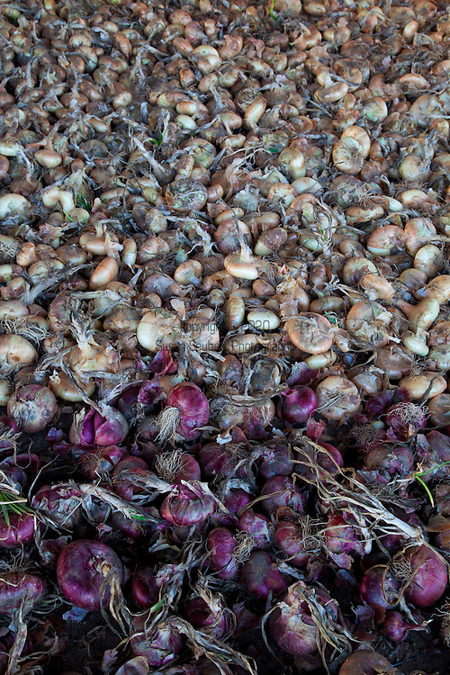 Meriwether's Restaurant is  one of the few restaurants operating their own 5 acre vegetable farm on Skyline Blvd. in NW Portland.  Throughout the 2009 harvest, the restaurant has served over 8000 pounds of Skyline Farm produce.  A variety of onions drying in the shed.
