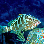 Nassau Grouper inhabit reefs in Tropical West Atlantic; picture taken Little Cayman.
