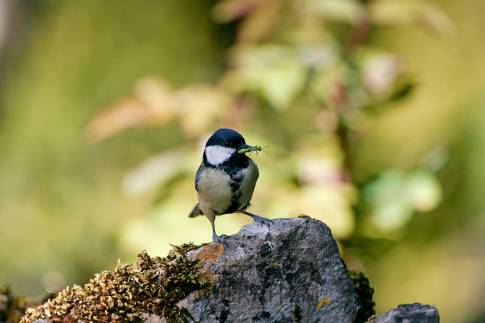 Great Tit holding an insect in its beak, England