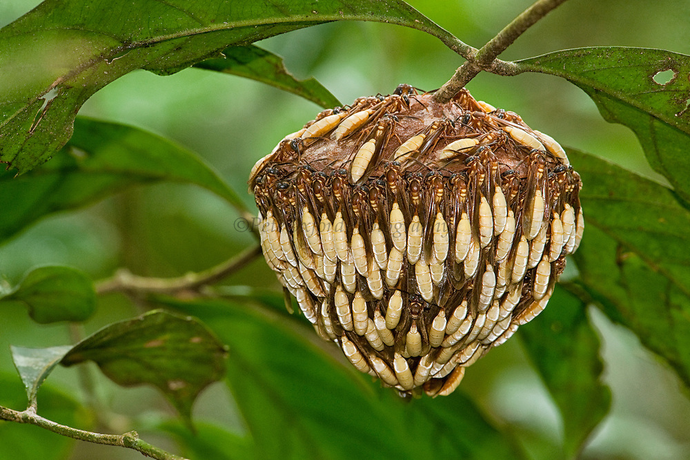 Parasol Wasp Nest and Wasps (Apoica pallens)<br /> Turtle Mountain<br /> Iwokrama Forest Reserve<br /> GUYANA<br /> South America