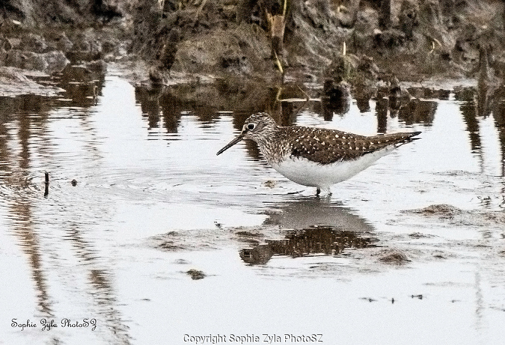 Solitary Sandpiper at Nature Center of Cape May