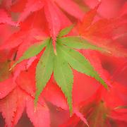 Festive acer leaves