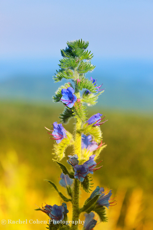 """""""In Awe""""-2<br /> <br /> A lovely wildflower image from the Blue Ridge Mountains. Beautiful in color and style, with a hint of the majestic mountains in the background!!<br /> <br /> Flowers and floral images by Rachel Cohen"""