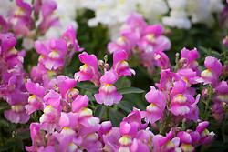 Antirrhinum 'Floral Carpet'. Snapdragon
