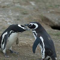 Magellanic Penguins, Magdalena Island, Strait of Magellan, Chile.