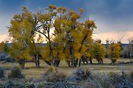 Stormy sunset over cottonwood trees in fall, Seedskadee National Wildlife Refuge, Wyoming