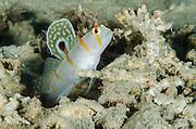 Randall's Shrimpgoby (Amblyeleotris randalli)<br /> Cenderawasih Bay<br /> West Papua<br /> Indonesia<br /> Lives communally with shrimp