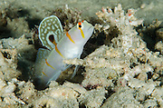 Randall's Shrimpgoby (Amblyeleotris randalli)<br /> Cenderawasih Bay<br /> West Papua<br /> Indonesia<br /> Lives communally with shrimp