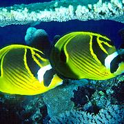 Racoon Butterfly inhabit reefs. Picture taken GBR, Australia.