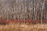 Poplar trees, red berries and cattails<br />Sturgeon Falls<br />Ontario<br />Canada