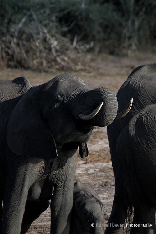 A Kalahari Elephant drinking on a riverbank in Chobe National Park Botswana