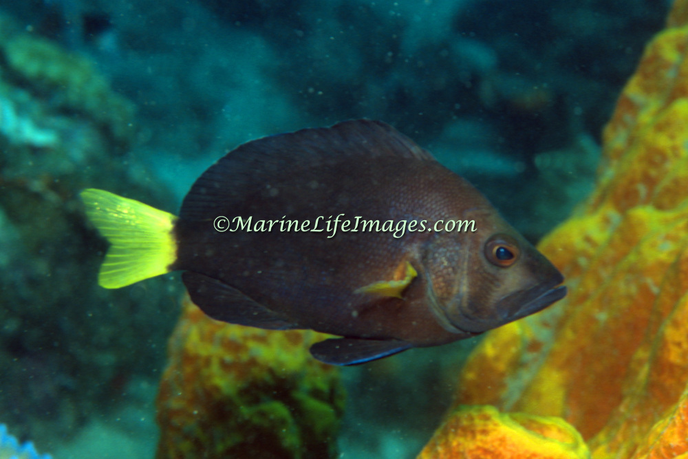 Yellowtail Hamlet inhabit reefs in Tropical West Atlantic; picture taken St. Lucia.
