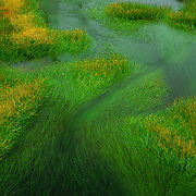 Verdant grasses growing in Yellowstone National Park, WY.