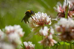 Bee on White Clover. Trifolium repens