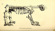 Megatherium Americanum skeleton from General zoology, or, Systematic natural history Part I, by Shaw, George, 1751-1813; Stephens, James Francis, 1792-1853; Heath, Charles, 1785-1848, engraver; Griffith, Mrs., engraver; Chappelow. Copperplate Printed in London in 1800. Probably the artists never saw a live specimen