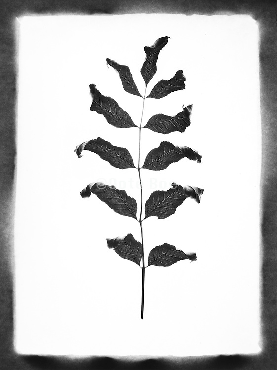 Leaves and stem against a white background