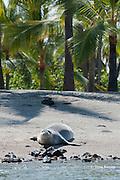 Hawaiian monk seal, Monachus schauinslandi ( Critically Endangered ), 2.5 year old male resting on beach at Pu'uhonua o Honaunau ( City of Refuge ) National Historical Park, Kona, Hawaii ( the Big Island ) U.S.A.