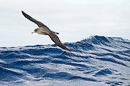 Cory shearwater, Calonectris diomedea, Pico, Azores, Portugal