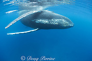 humpback whale, Megaptera novaeangliae, female with calf behind, A'u A'u Channel, off West Maui, Hawaii, Hawaii Humpback Whale National Marine Sanctuary, USA ( Central Pacific Ocean )