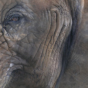 African Elephant, (Loxodonta africana)  Portrait of elephant in the Baltimore Zoo in Maryland.  Captive Animal.