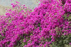 Flowers At Ollantaytambo