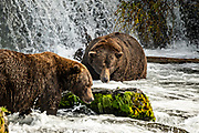 Jumbo adult Brown Bears known as 32 Chunk, left, and the dominate male 747, watch for Sockeye Salmon at Brooks Falls in Katmai National Park and Preserve September 16, 2019 near King Salmon, Alaska. The park spans the worlds largest salmon run with nearly 62 million salmon migrating through the streams which feeds some of the largest bears in the world.