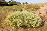 The Curry plant, Helichrysum italicum, and Valerian, Valeriana officinalis, Shingle Street, Hollesley, Suffolk, England, UK