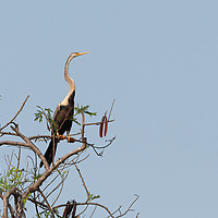 The Oriental darter (Anhinga melanogaster) is a water bird of tropical South Asia and Southeast Asia. It has a long and slender neck with a straight, pointed bill and, like the cormorant, it hunts for fish while its body is submerged in water. It spears a fish underwater, bringing it above the surface, tossing and juggling it before swallowing the fish head first. The body remains submerged as it swims, and the slender neck alone is visible above the water, which accounts for the colloquial name of snakebird. Like the cormorants, it has wettable feathers and it is often found perched on a rock or branch with its wings held open to dry.