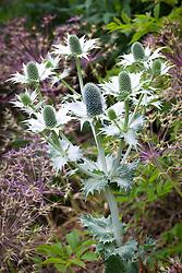 Eryngium giganteum 'Silver Ghost' AGM. Sea holly