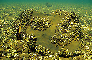 Zebra Mussels<br />