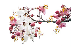 Cassia Bakeriana Pink Shower Wishing Tree#2