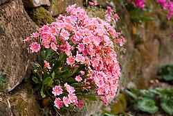 Lewisia cotyledon Ashwood strain growing in a wall in John Massey's garden