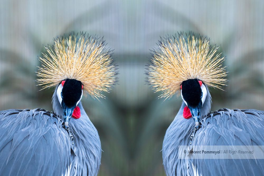 Grey crowned crane-Grue royale (Balearica regulorum), Kwazulu Natal, South Africa.