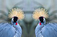 Grey crowned crane-Grue royale (Balearica regulorum), Hluhluwe-Umfolozi parc, Kwazulu-Natal, South Africa.