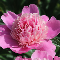 """""""Arianna""""<br /> <br /> A stunning large blossomed pink peony among green leaves!"""