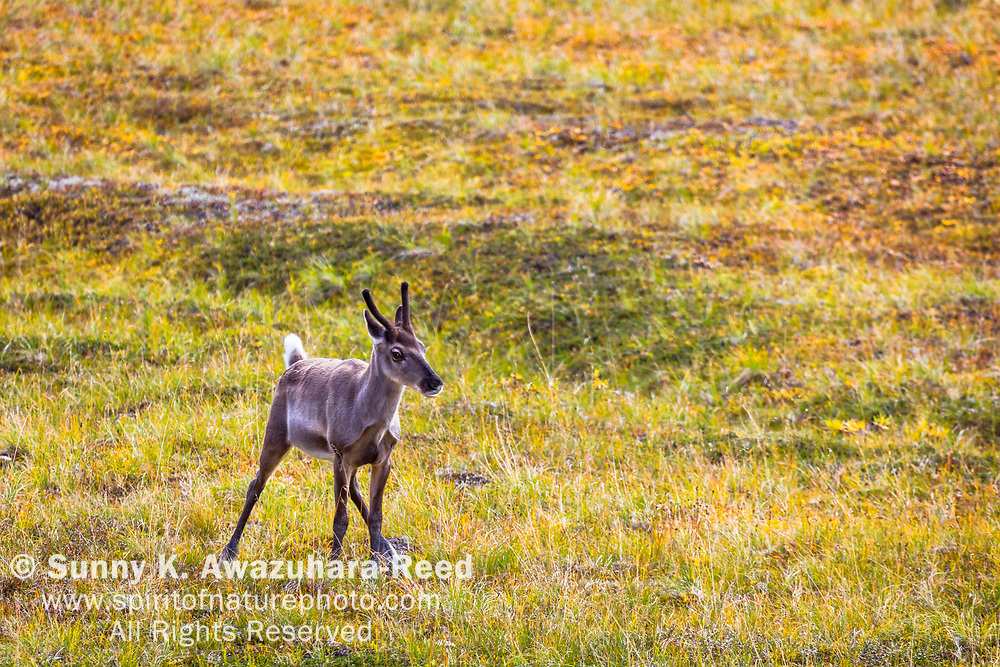 Young Caribou with velvet antlers standing on fall color tundra, Denali National Park & Preserve, Interior Alaska, Autumn.