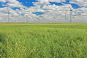 Field of oats and wind turbines<br /> Rosenhof<br /> Saskatchewan<br /> Canada