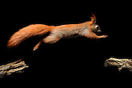 FEATURE: Red Squirrels