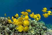schooling yellow tangs ( Zebrasoma flavescens ) feed on algae growing on coral reef, Kealekekua Bay, Kona, Hawaii, USA ( Central Pacific Ocean )
