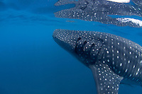 Side view of a whale shark's head in Holbox, Mexico.